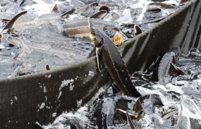 سمكة كويتية أغلى من الذهب... فيديو