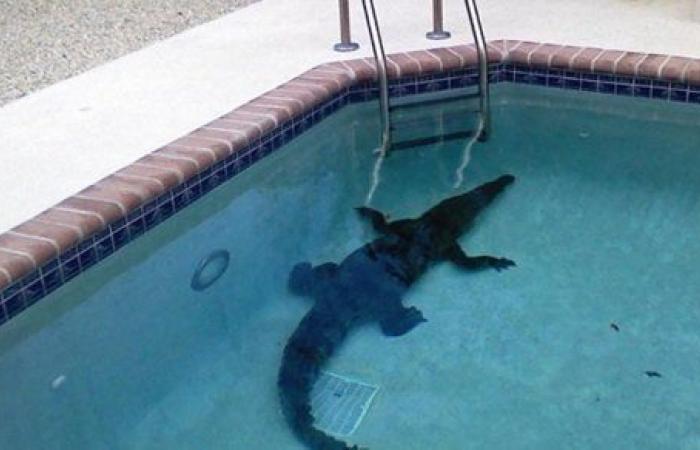 بـ حبل .. شاهد لحظة إخراج تمساح طوله 3 أمتار من حمام سباحة بمنزل سكني