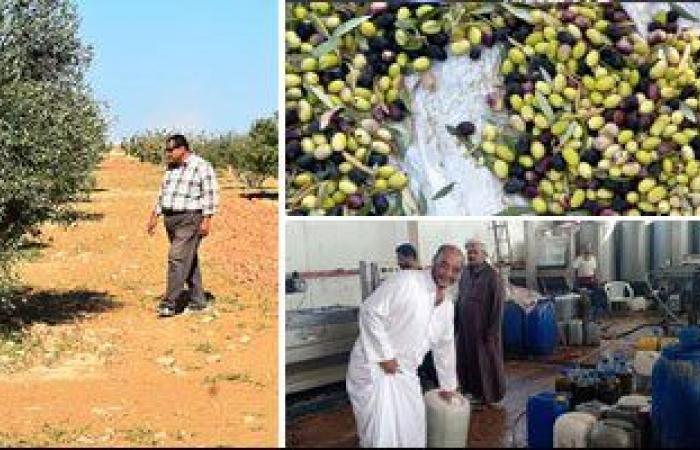 الزراعة: حزمة إرشادات لمحصول الزيتون لزيادة الإنتاج.. تعرف عليها