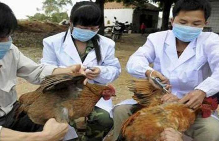إعدام 250 ألف دجاجة بسبب تفشي إنفلونزا الطيور في اليابان