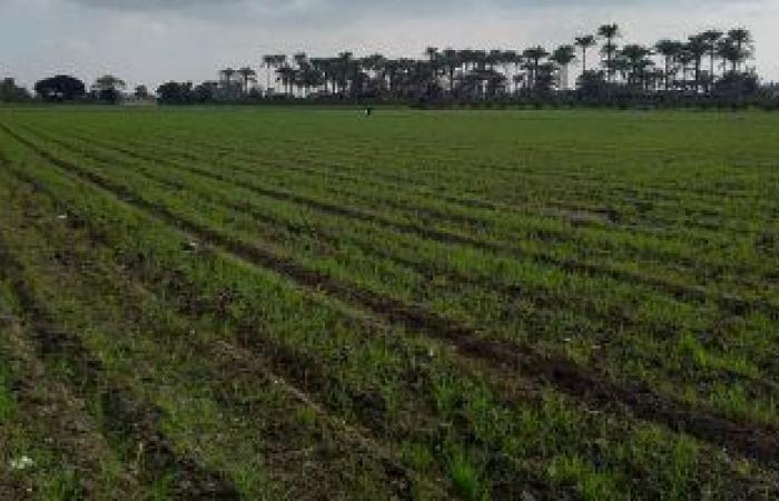 كيف تساهم زراعة قمح المصاطب على زيادة الإنتاج وتوفير المياه؟ اقرأ التفاصيل