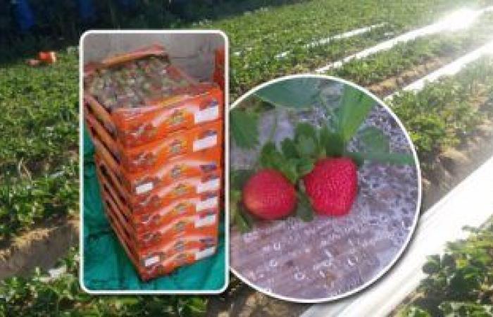 الزراعة تعلن تخفيض 3 جنيهات فى أسعار شتلات الفراولة المستوردة عالية الجودة