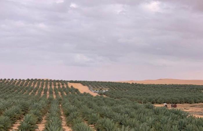 بالصور.. «زراعة القصيم» تكافح أسراب الجراد الصحراوي