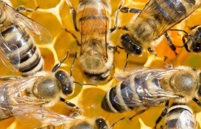 موت النحل .. الزراعة تصدر حزمة توصيات للنحالين بشأن حالة الطقس