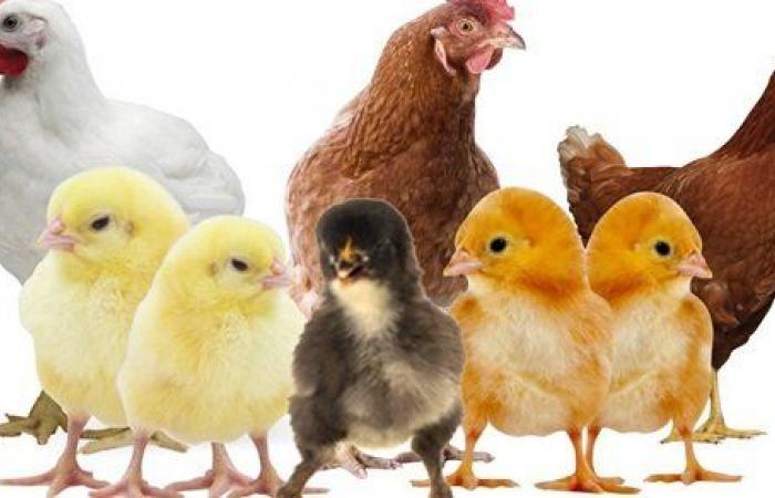 الفراخ البلدى بـ 39 جنيها.. ننشر أسعار الدواجن والبيض والأرانب والبط