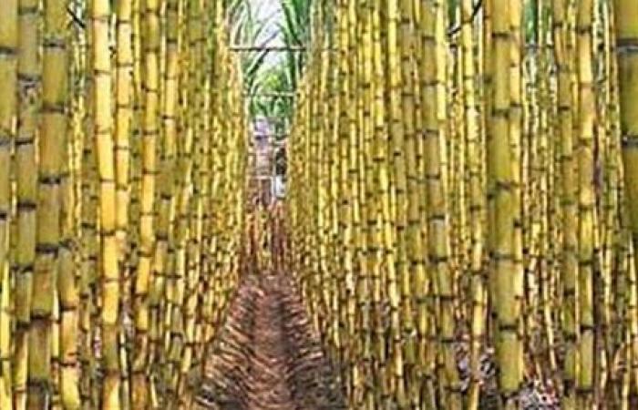 الورق والخشب.. الفلاحين: 20 مليون طن من مخلفات القصب والبنجر لا نستفيد منها