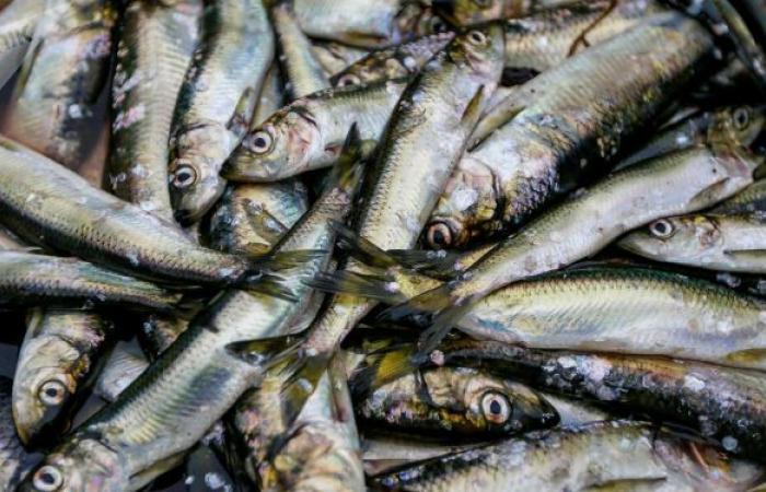 الصيادون فرحون... تفسير ظهور أعداد هائلة من الأسماك على شواطئ سيبيريا... فيديو