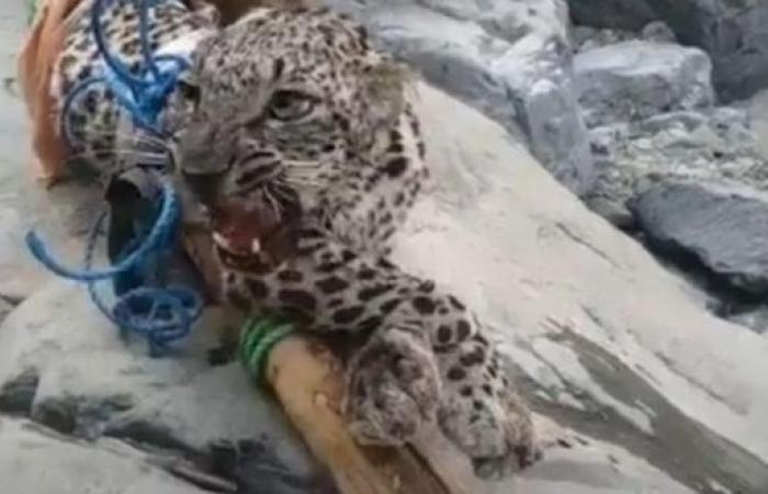 الحياة الفطرية عن فيديو صيد النمر العربي: في اليمن
