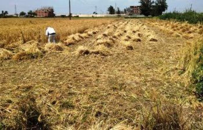 تعرف على إجراءات وزارة التموين لاستلام القمح من المزارعين × 6 معلومات