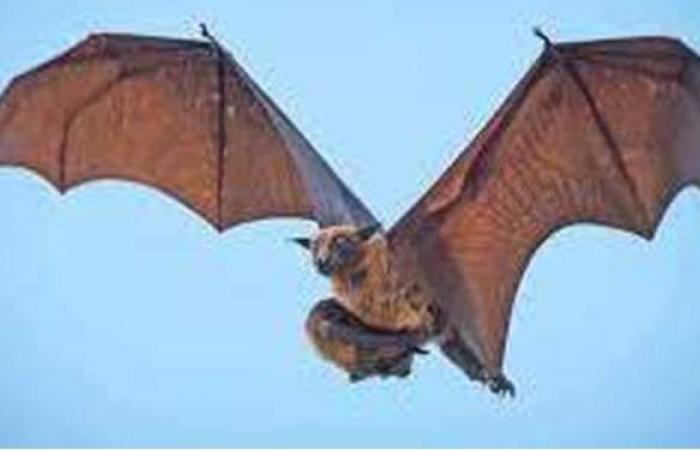 شبيه بداء الكلب.. علماء يكتشفون فيروسا فتاكا في الخفافيش