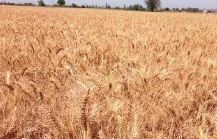 التموين تقرر إيقاف استلام توريد القمح المحلى اليوم بمناسبة أعياد الأقباط