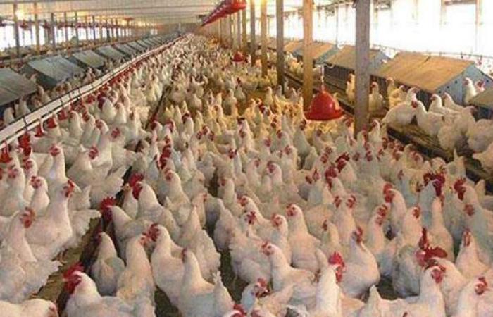 الداودى يعلن عن طرح ٢٥ ألف دجاجة ومنتجاتها بأسعار مخفضة في قنا