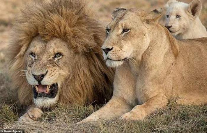 ملك الغابة ماسلمش.. إصابة ثمانية أسود في حديقة حيوان هندية بكورونا