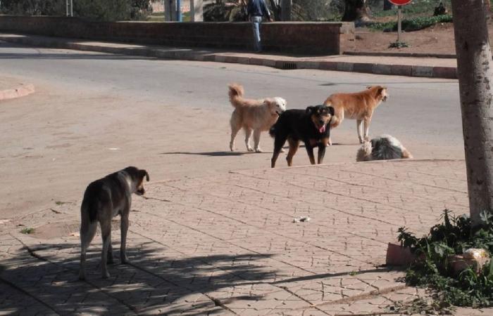 بعد حادث الأحساء.. 4 أطفال ضحايا الكلاب الضالة في 3 أشهر