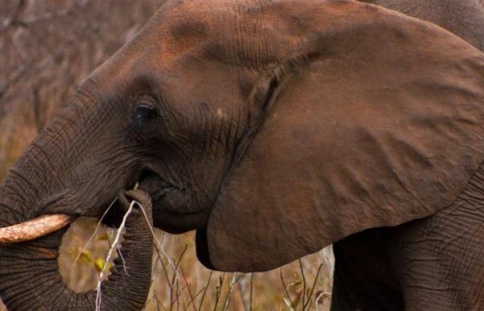 دراسة: الكشف عن قدرات خارقة يتمتع بها خرطوم الفيل... فيديو
