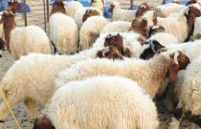 أسعار اللحوم الحية اليوم.. أسعار الأضاحي في عيد الأضحى 2021