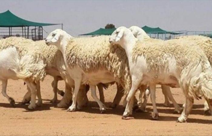 «الزراعة»: أقصى حد لـ«دعم صغار مربي الماشية» 500 رأس من الأغنام و30 للإبل و15 للأبقار