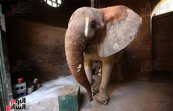 40 سنة داخل حديقة الحيوان.. أول صور لمومياء الفيلة نعيمة بعد تحنيطها